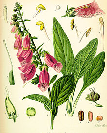 Foxglove drawing