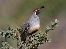 gambel quail