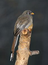 trogon female