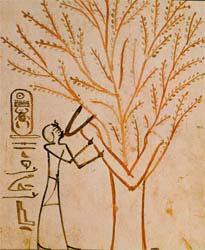 tree in egypt