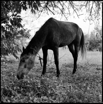 Band horse