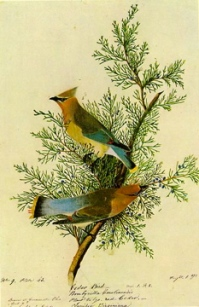 audubon waxwing