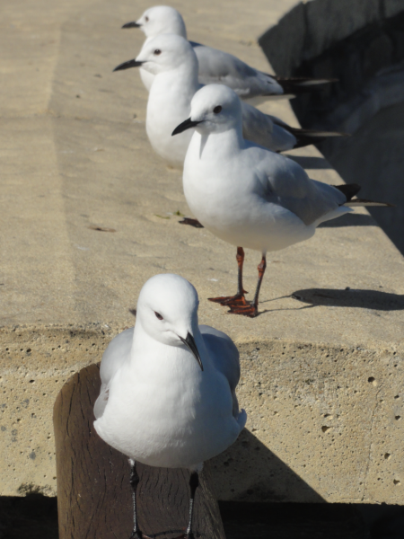 black billed gull 1