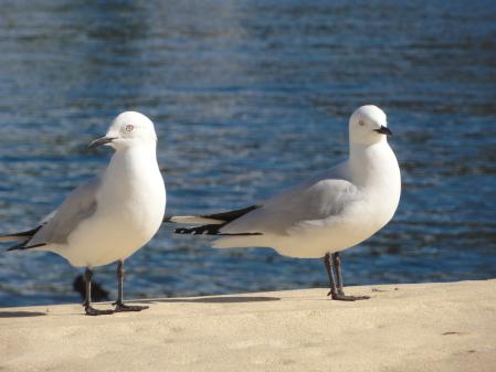 black billed gull 2