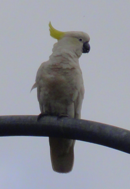 cockatoo 1