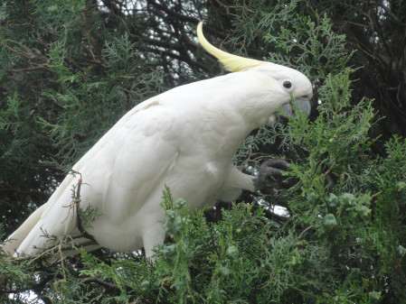 cockatoo 2