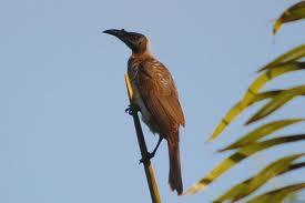 friarbird 1