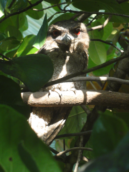 frogmouth 2