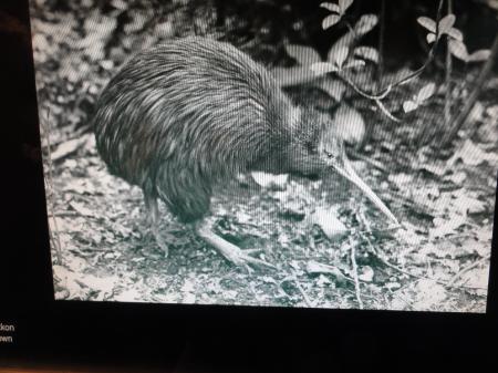 kiwi 2