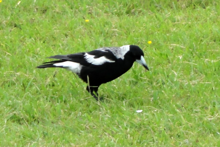 magpie 1