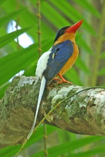 paradise kingfisher 1