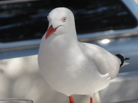 red billed gull 1