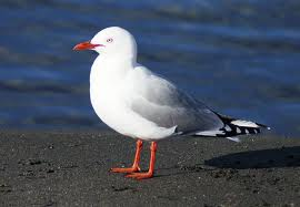 red billed gull 2