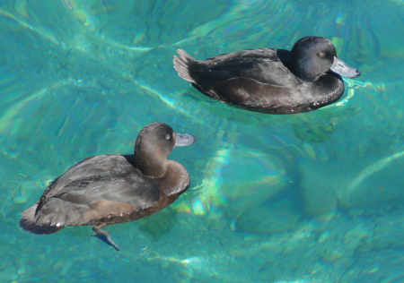 scaup 1