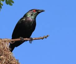 starling male