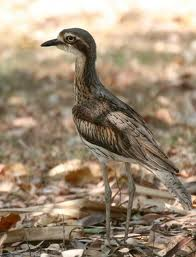 stone curlew 3