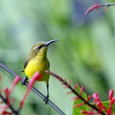 sunbird 1