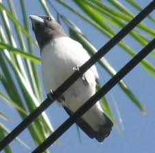 woodswallow 1