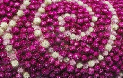 11676892-globe-amaranth-or-gomphrena-globosa-flower-arrangement-background