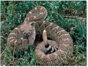 Western-Diamondback-Rattlesnake-3