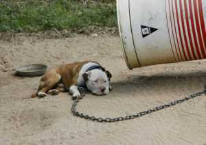 Dog Chained to Barrel