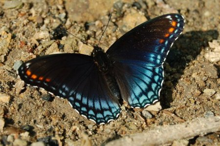 12 Red-spotted Purple Butterfly