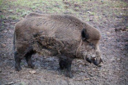 12332539-wild-boar-sus-scrofa-in-the-wild-nature-in-belovezhsky-more