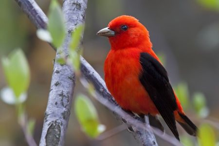123Scarlet Tanager for Chamber