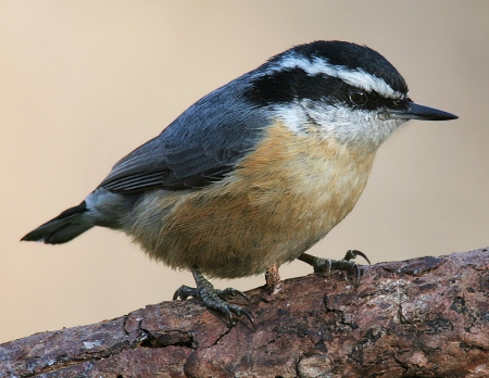 Red-breasted-Nuthatch-3c