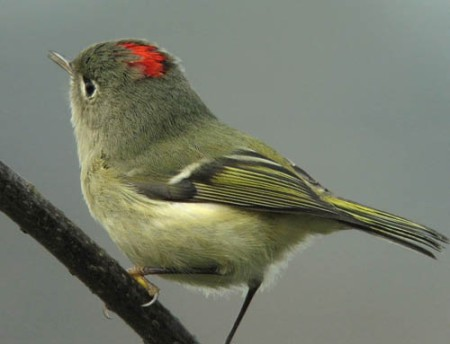 1Ruby-crowned_Kinglet1