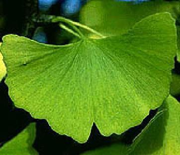 ginkgo_leaf