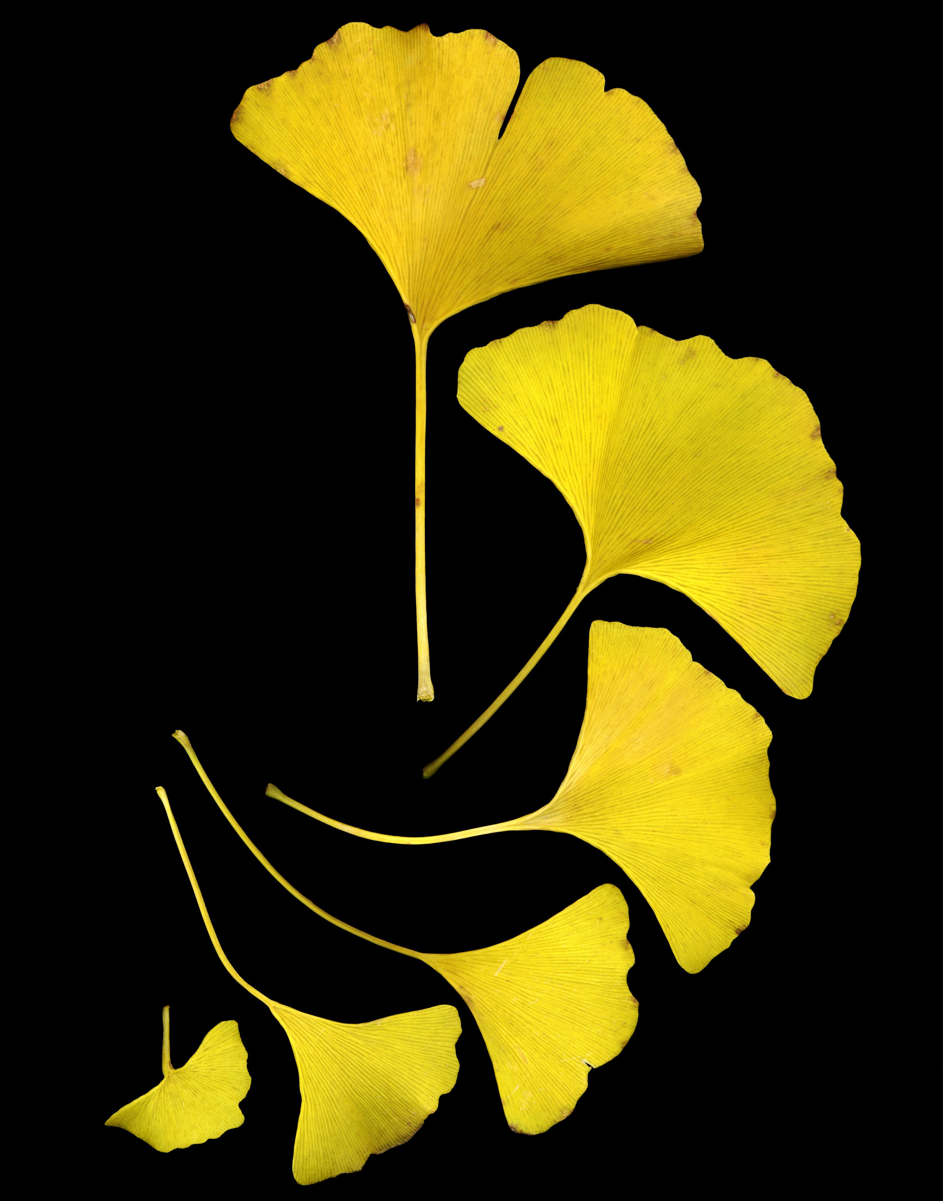 Trees: Ginkgo | Henry E. Hooper