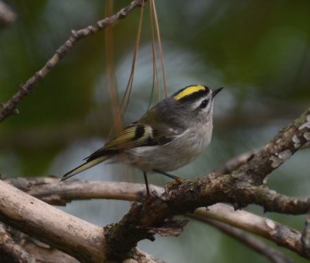 Golden-crowned Kinglet, Franklin Co., OH October 4, 2011 (1)