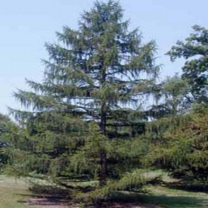 japanese-larch