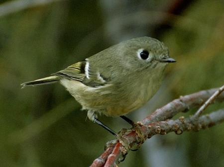 kinglet_ruby-crowned-1001