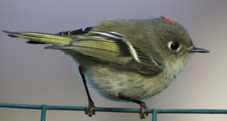 kinglets-Ruby-crowned-Kinglet-on-fence