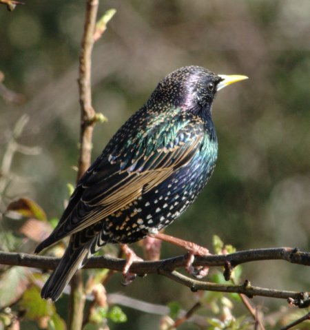 Colourful_starling