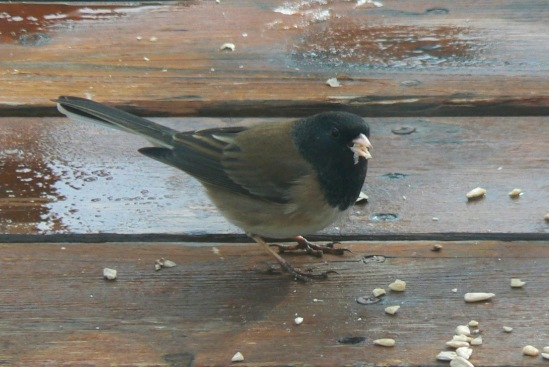 Dark-eyed Junco- Oregon- 2-29-12
