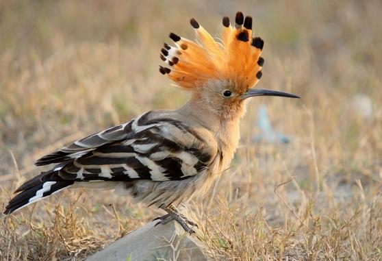 birds hoopoe