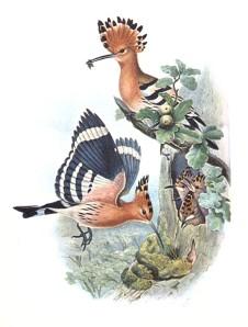 Hoopoe family, John Gould, 1837
