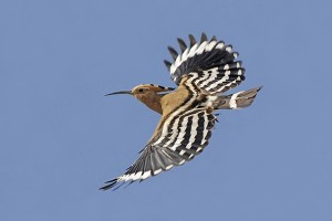 Hoopoe in flight_web filtered_filtered