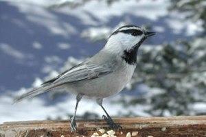 mountain_chickadee