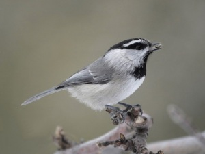 mountain_chickadee_simspecies_mikewisnicki