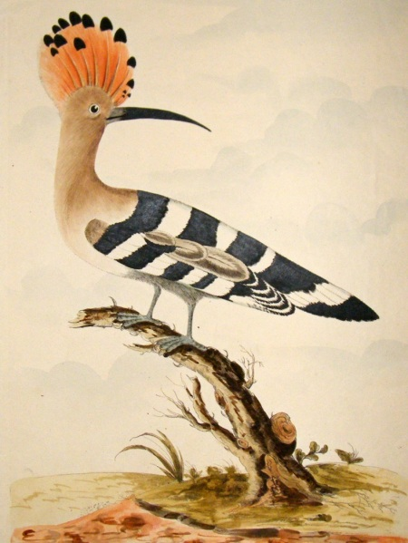 thomas-lord-1791-folio-hand-col-bird-print.-the-hoopoe-[2]-43392-p