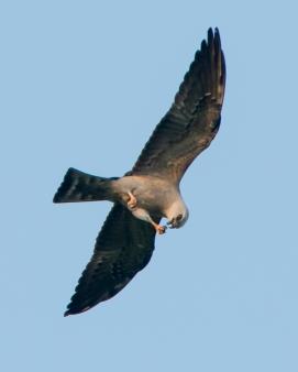 5-20-13-Mississippi-Kite-Bucktoe-Creek-Preserve-96