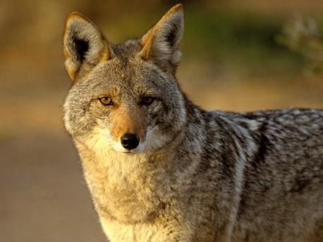 Coyote6