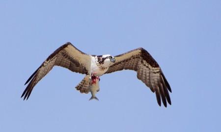 Osprey_page_image