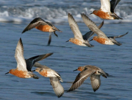 Red-Knot_(Calidris_canutus)_RWD4