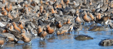 Red-Knots-and-crabs_-Gregory-Breese.USFWS