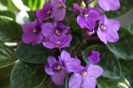 African-violets-003